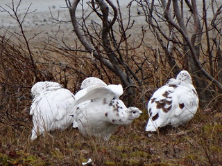 "A preening ptarmigan flexing its ""muscles"" for all to see but none took notice cos sleep was more important. =D"