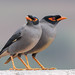 Bank Myna. Gudjarat, India by Ser-val