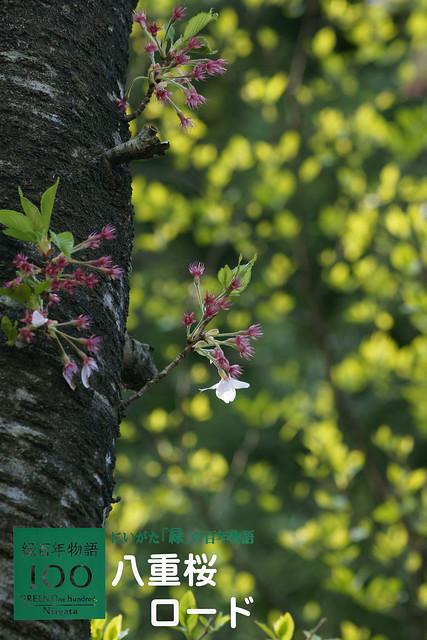 写真_八重桜ロード
