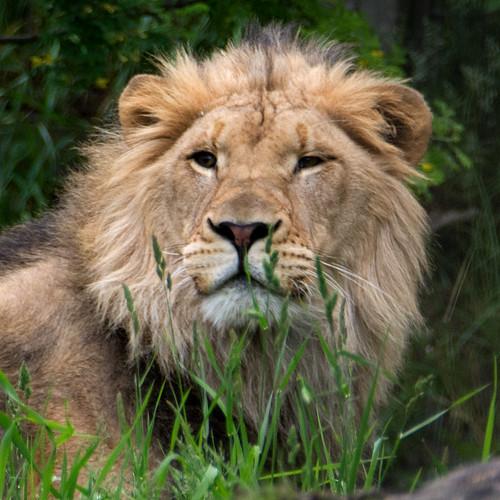 Lion (C4410)