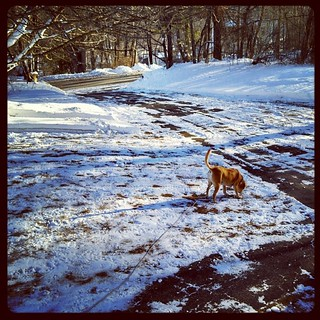 Good Morning! Sophie loves the #snow #dogstagram #instadog #newengland