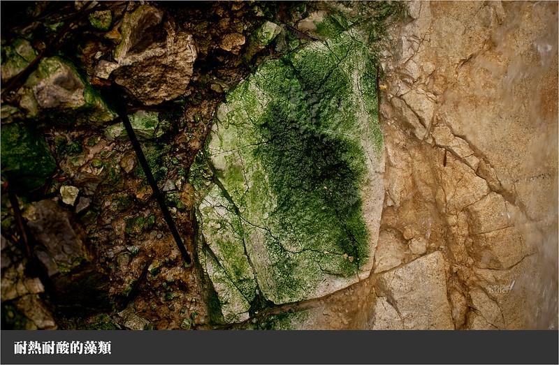耐熱耐酸的藻類
