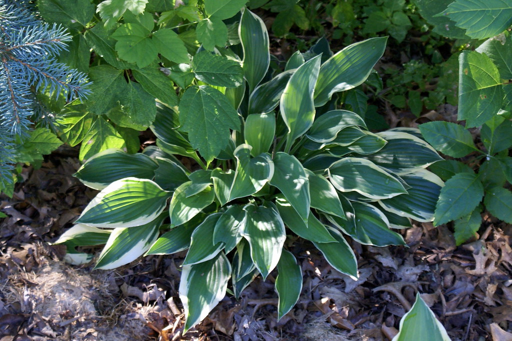 Hosta 'Margin of Error' (11)-001