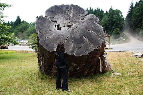 Tree Stump outside Western Forest Products office in Holberg, Holberg Inlet, North Vancouver Island, British Columbia