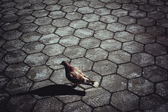 The Streets Of New York: NYC Brown Pigeon