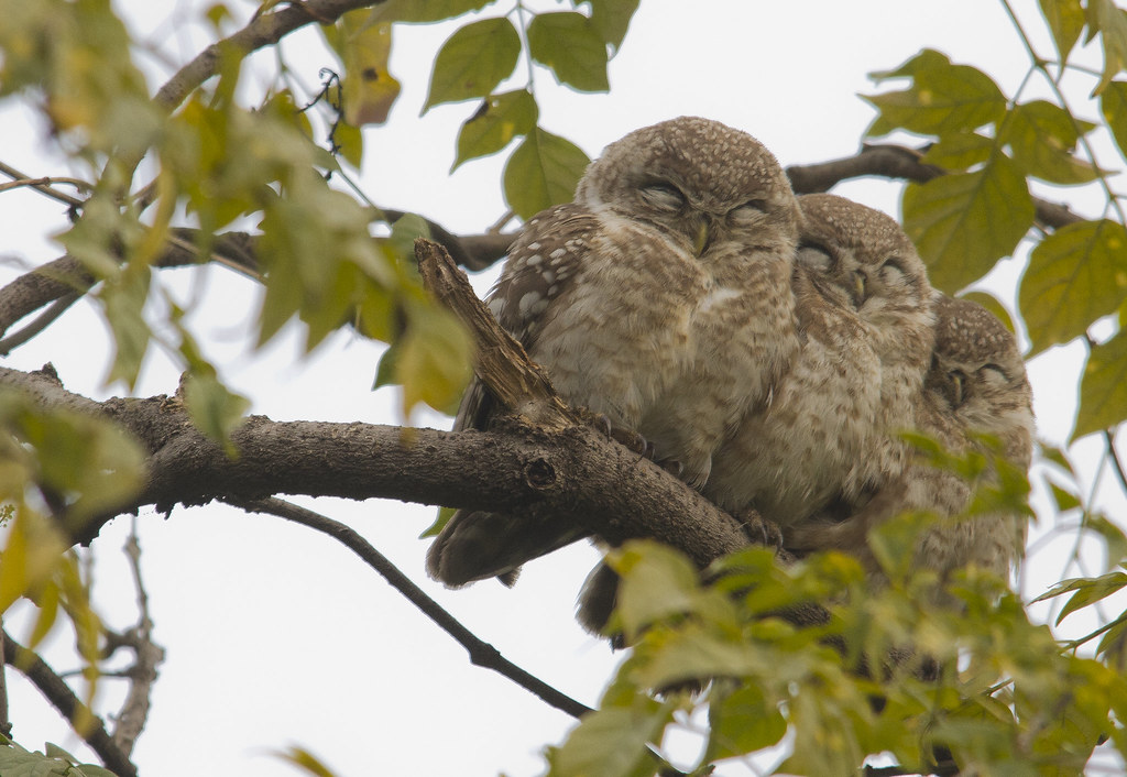 14_01_20143522056239_spotted_owls_crop