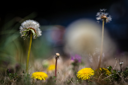 green art love nature lost virginia spring purple unitedstates bokeh fineart extreme natur dandelion explore translation passion 370 virginiabeach ml loewenzahn lipoma kunstwelt photosophie giesea lipom crowdmedia drachenfanger ilobsterit andreasmgiesea darchenfanger