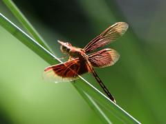 Painted Grasshawk (Neurothemis stigmatizans) male