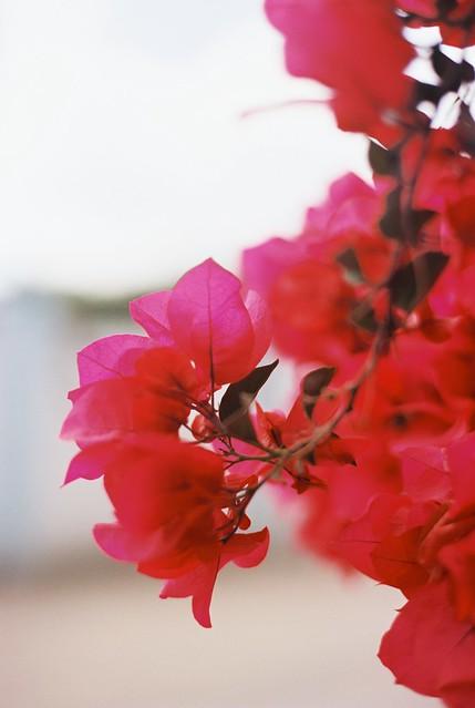 Mancheros Mexico- pink bougainvillea