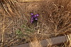 Crocus, Grass, Rails (High Line/NYC)