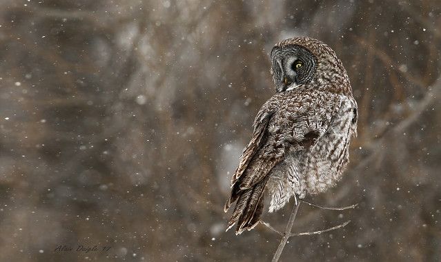 Chouette lapone \ Great Gray Owl