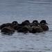 Harlequin Ducks (Charles McMaster)