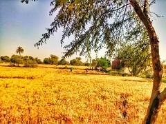گندم کی کٹائی شروع سندھ میں. #wheat #golden #field #sky