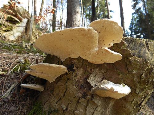 Treppenförmiger Steifporling an der Westlichen Günz / Unterallgäu , NGIDn1243224957
