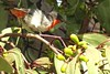 Mistletoe bird