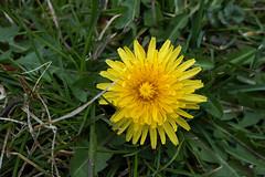 Taraxacum officinale (Common Dandelion)