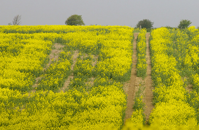 Rape Seed Field On The Sussex Downs