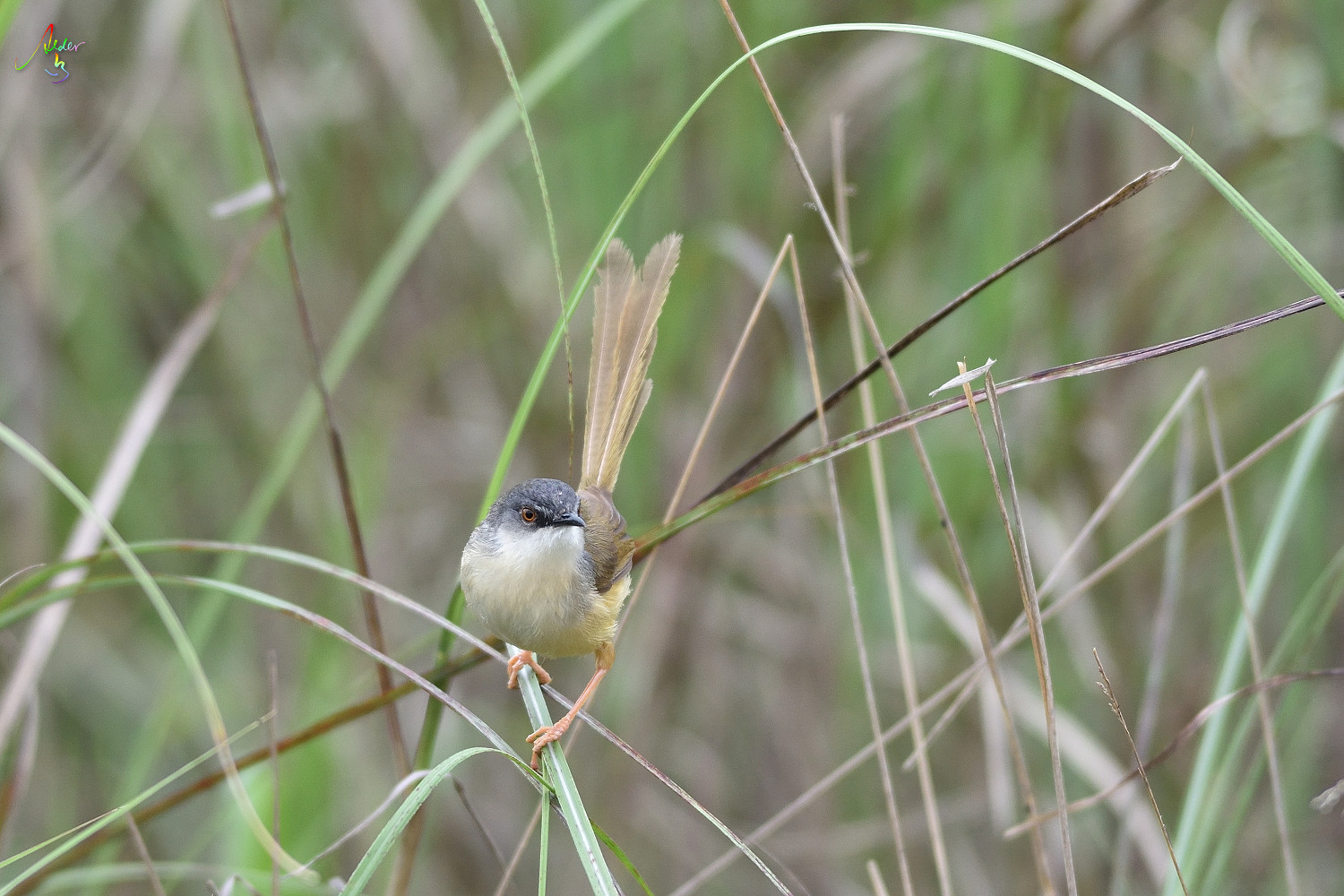 Yellow-bellied_Prinia_3263