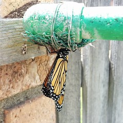 #monarch #butterfly new hatching