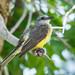 Tropical Kingbird (Ian Talboys)