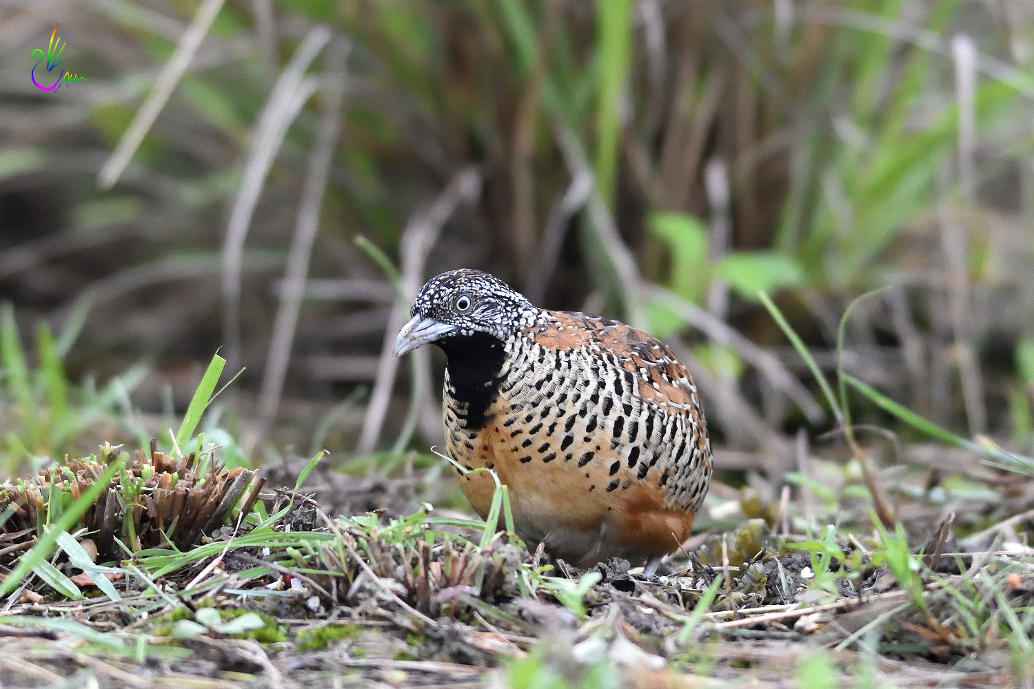 Barred_Buttonquail_2149