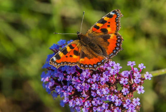 Small Tortoiseshell on flower, Nikon D70S, AF Zoom-Nikkor 24-85mm f/2.8-4D IF