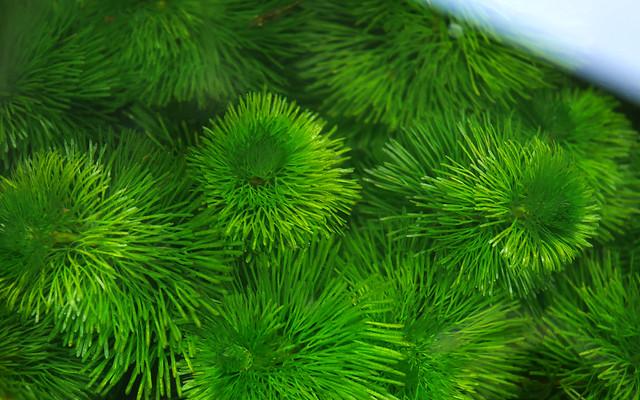 カボンバ ハゴロモモ 羽衣藻 金魚藻 ビオトープ 水生植物 Cabomba caroliniana メダカ