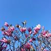 Magnolia - Arnold Arboretum #spring