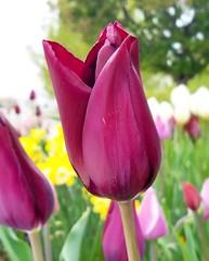 #tulips #tulipseason #utah #temples #flowers