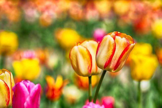 _DSC6034 Double Tulip