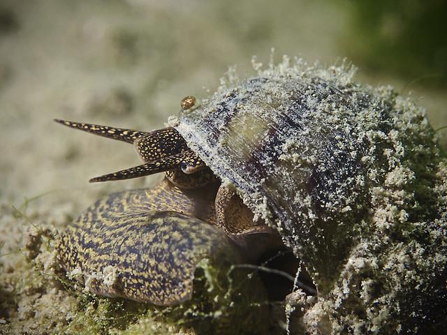 Lister's river snail, Spitze Sumpfdeckelschnecke (Viviparus contectus)