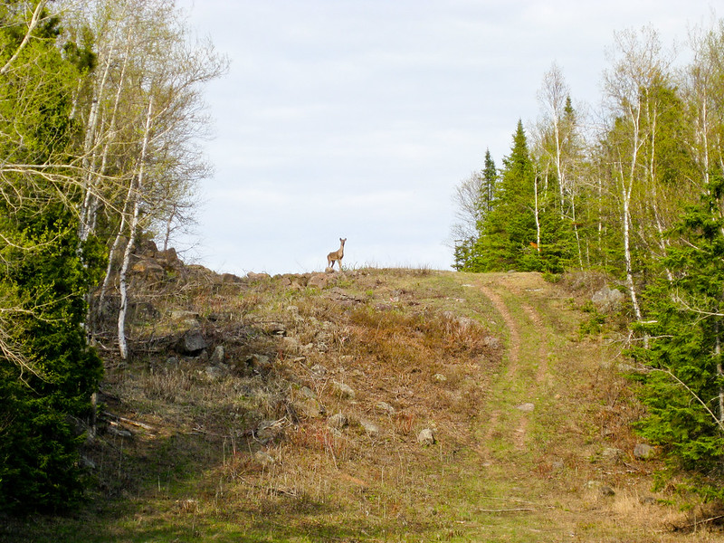 SHT - Deer