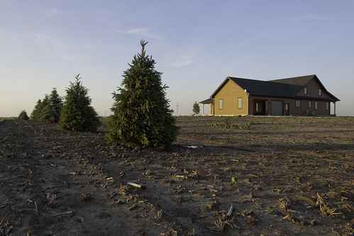 New Spruce Trees