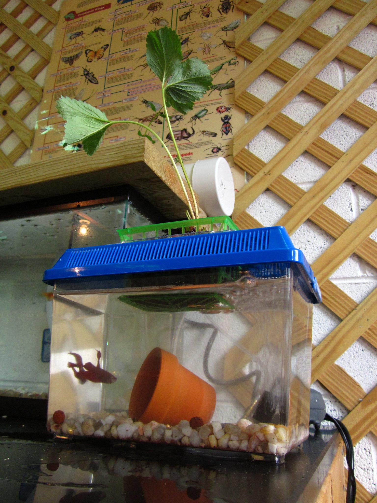 Worms aquaponics system fish