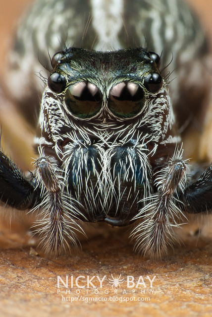 Jumping Spider (Salticidae) - i02813_cropped
