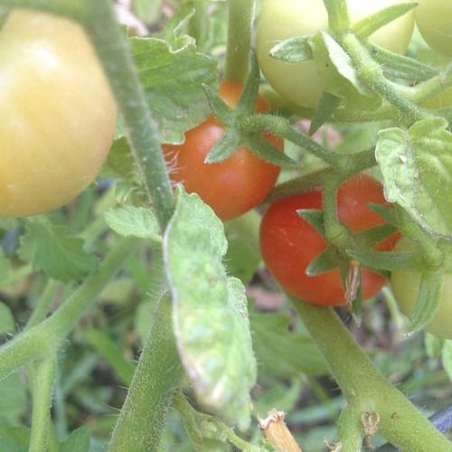 Finally, a ripe tomato!