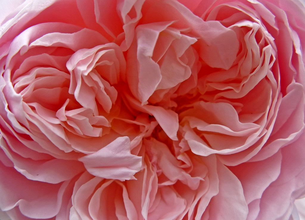 Pink Rose At Bradford Cathedral Tim Green Flickr