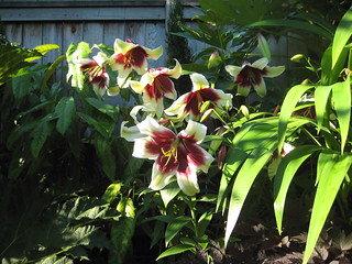 Lilium Kushi Maya group 1