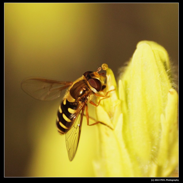 Flower fly (Syrphidae)