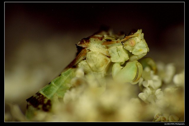 Jagged Ambush Bug (Subfamily Phymatinae)