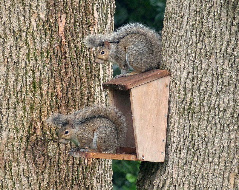 Young Squirrel Siblings by JASO65