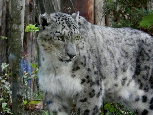 全球喀什米爾羊毛市場的成長威脅雪豹的生存。圖片來源:http://www.flickr.com/photos/53741885@N00/8429998299,本圖符合CC授權使用。