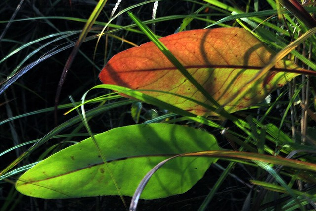 Somme Prairie Grove, Red and Green Leaves, August 25, 2013 39 4x6