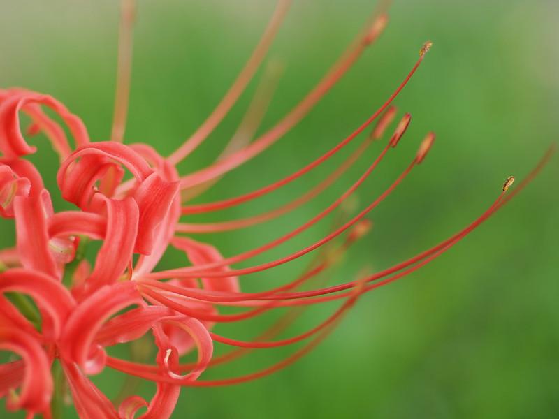 彼岸花, Red Spider Lily