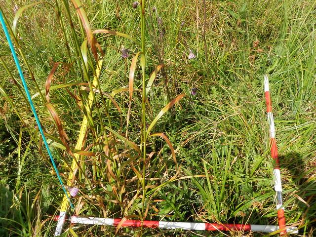 湿原が回復している場所.マアザミ,アブラガヤなどが生育していた.