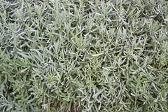 flower(0.0), english lavender(0.0), grass(0.0), frost(0.0), lawn(0.0), shrub(1.0), leaf(1.0), rosemary(1.0), plant(1.0), subshrub(1.0), flora(1.0),