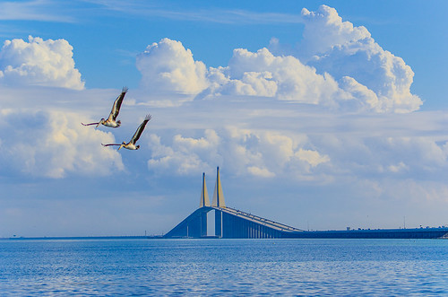 Two Pelicans in formation in front of Sunshine Skyway Bridge