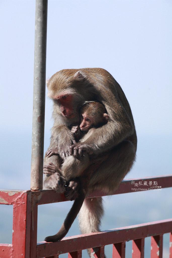 台南私藏景點-南化烏山獼猴 (16)