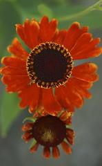 Helenium 'Mardi Gras (p.p. 15124 aka Helbro) Helen's Flower, Sneezeweed