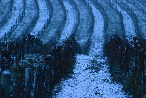 Rajnai ültetvény az első hóban
